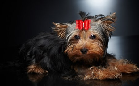 York small dog