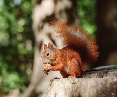 Red squirrel sits