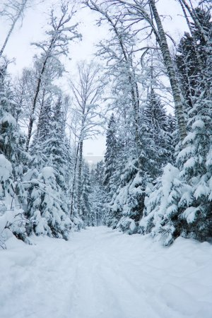 beautiful winter scenery, snow-covered spruce forest