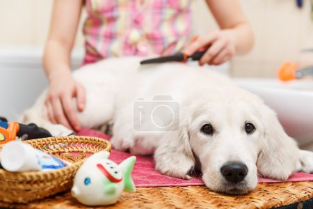 Girl owner is combing out the fur of retriever pup...