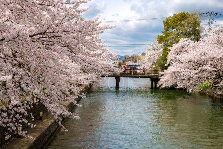Photo for Beautiful Sakura, cherry trees at full bloom in Japan - Royalty Free Image