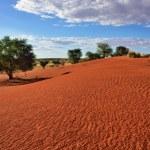 Beautiful landscape in Kalahari with big red dune ...