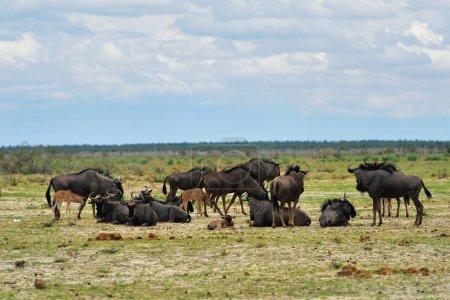 Blue wildebeest antelopes, Africa