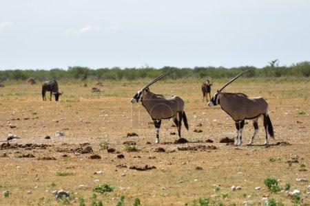 A Gemsbok (Oryx gazella)