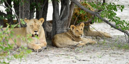 Lions pride, Namibia
