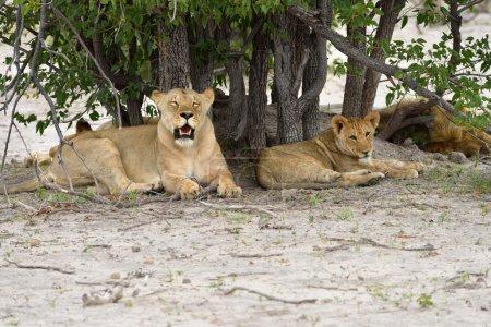 Lions pride, Namibia