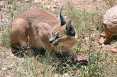 Caracal in Namibia, Africa