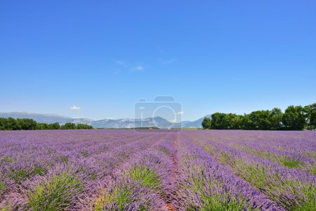 Photo for Stunning landscape with lavender field at evening. Plateau of Valensole, Provence, France - Royalty Free Image