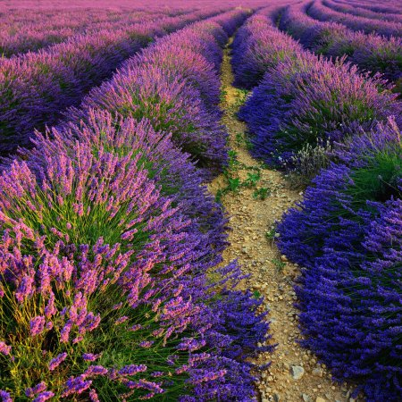 Photo for Stunning landscape with lavender field at sunset. Plateau of Valensole, Provence, France - Royalty Free Image
