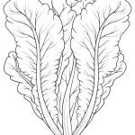 Sketch vector illustration of Lettuce...