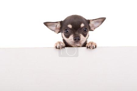 Chihuahua puppy - studio shot