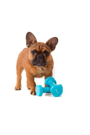 French Bulldog puppy on diet