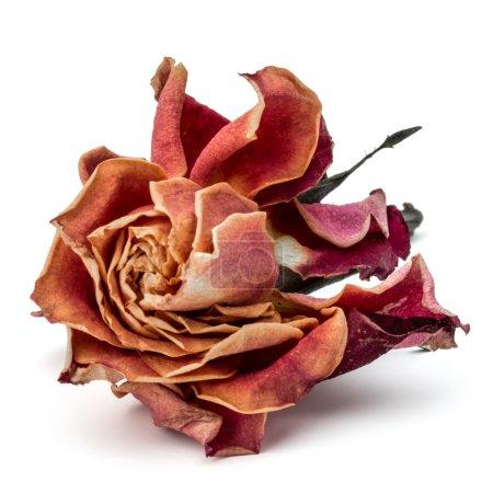 Dried rose flower head