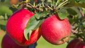 garden full of riped red apples