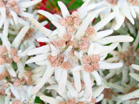Photo pour Fleurs célèbres Edelweiss (Leontopodium alpinum), symbole des Alpes - image libre de droit