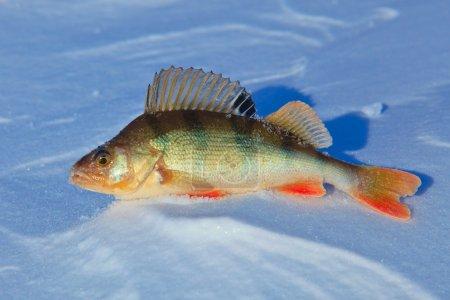 Perch fish on blue ice. Winter fishing.