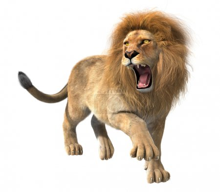 Lion roaring isolated