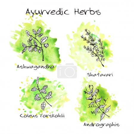 Illustration for Handdrawn set of Ayurvedic Herbs with green watercolor blots. Ashwagandha, Shatavari, Coleus forskohlii, Andrographis - Royalty Free Image