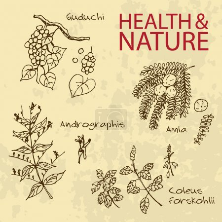 Illustration for Handdrawn Illustration - Health and Nature Set. Collection of Herbs. Natural Supplements. Coleus forskohlii, Andrographis, Amla, Guduchi - Royalty Free Image