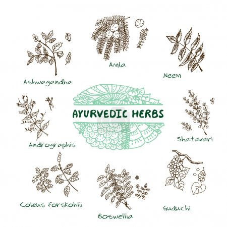Illustration for Handdrawn Set - Health and Nature. Collection of Ayurvedic Herbs. Natural Supplements. Coleus forskohlii, Andrographis, Guduchi, Amla, Neem, Boswellia, Shatavari, Ashwagandha - Royalty Free Image