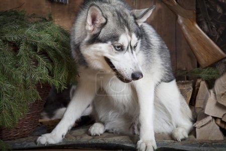 Purebred Siberian Husky dog indoors