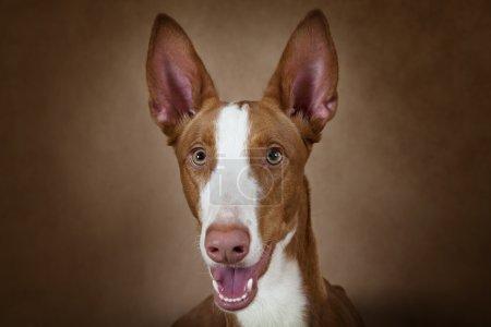 Portrait of purebred Podenco ibicenco dog