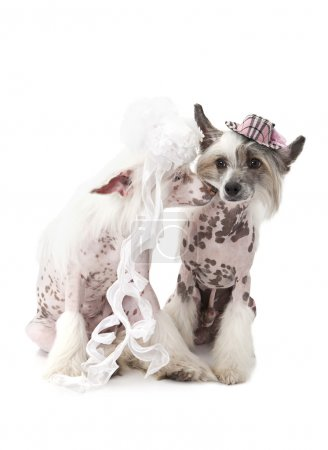 Hairless Chinese Crested dogs dressed in wedding attire