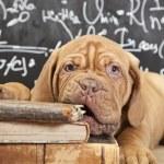 Puppy of Dogue de Bordeaux (French mastiff) chewin...