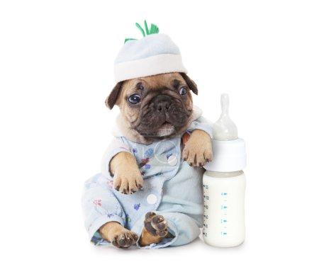 Photo pour Chiot bulldog français d'un mois avec une bouteille de mil - image libre de droit