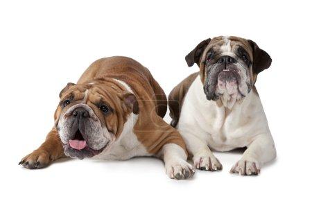 Two English Bulldog on white background