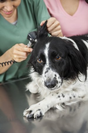 Border Collies Ear Being Examined By Female Vet