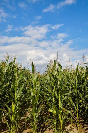 Campo de maíz y cielo
