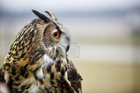 Close up of eagle owl