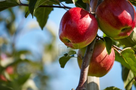 Photo pour Pommes rouges sur une branche prête à être récoltée - image libre de droit