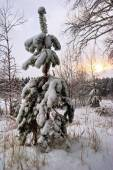Small fur-tree in snow on sunset