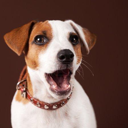 Surprised dog pupy