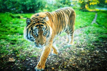 Photo pour Tigre est la plus grande espèce de chat, atteignant la longueur totale du corps jusqu'à 3,38 m sur les courbes et pesant jusqu'à 388,7 kg dans la nature . - image libre de droit