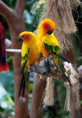 Beautiful colorful parrots, Sun Conure (Aratinga solstitialis)