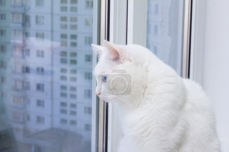 white cat with blue eyes sitting