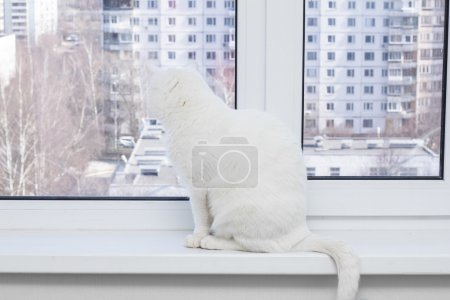White cat with blue eyes sitting on the window sill, looking out the window and wants to the street