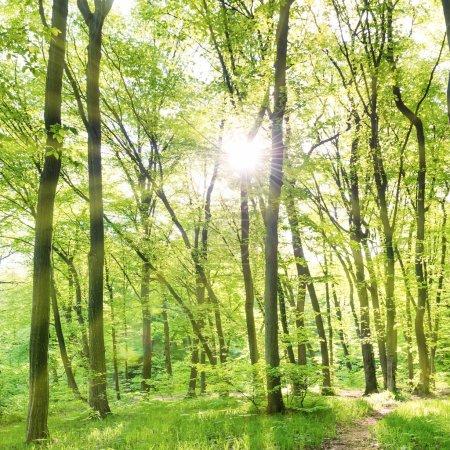 Photo pour Matin dans une forêt ensoleillée avec arbres verts - image libre de droit