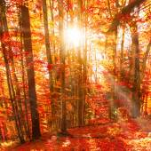 Red trees in the autumn forest
