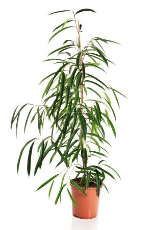 Photo for Photo of dracaena in a pot. - Royalty Free Image