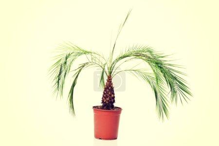 Photo pour Belle plante de palmier dans un pot brun . - image libre de droit