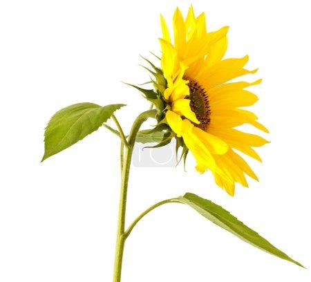 Photo pour Beau tournesol jaune sur fond blanc (Helianthus annuus ) - image libre de droit