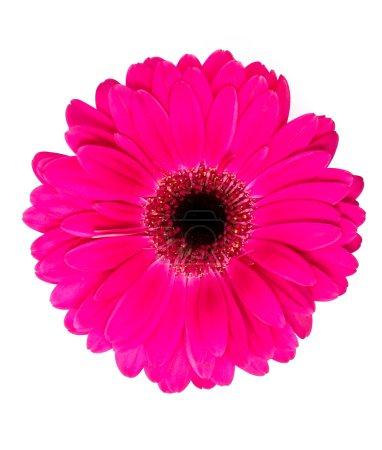 Flower, blossom. Beautiful gerbera flower...