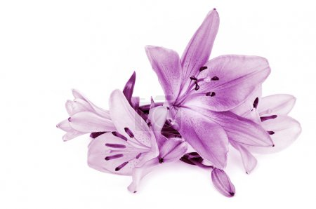 Lily on white background