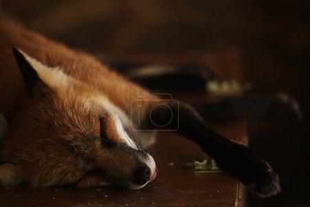 Photo pour Renard endormi. Zoo, jour d'été - image libre de droit