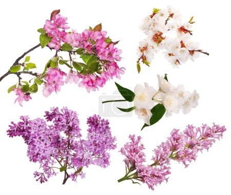 Photo pour Ensemble de floraison des branches d'arbre isolé sur fond blanc - image libre de droit