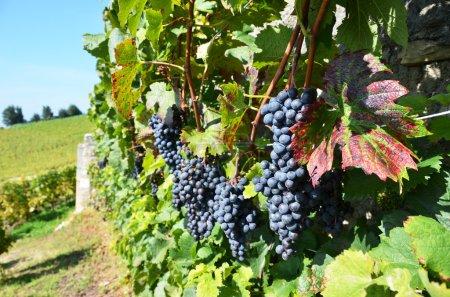 Grapes in Lavaux, Switzerland...